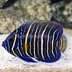 Blue Face Angelfish Transitioning [Blemish] (click for more detail)