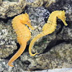 ORA® Captive-Bred Hybrid Seahorse (Bonded Pair) (click for more detail)