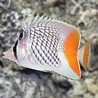Pearlscale Butterflyfish (click for more detail)