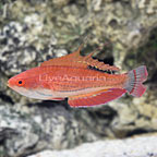 Carpenter's Flasher Wrasse Terminal Phase Male [Blemish] (click for more detail)