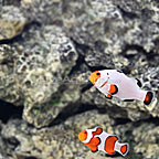 USA Captive-Bred Wyoming White x Gladiator Clownfish (Select Pair) (click for more detail)