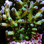 Bushy Acropora Coral Indonesia (click for more detail)