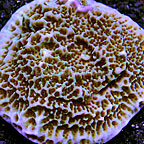 Scrolling Montipora Coral Indonesia (click for more detail)