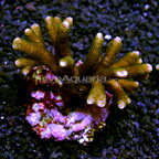 Branching Montipora Coral Indonesia (click for more detail)