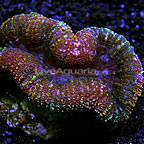 Lobed Brain Coral Indonesia (click for more detail)