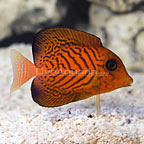 Chevron Tang Juvenile (click for more detail)