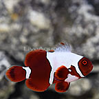 ORA® Captive-Bred Super Premium Goldflake Maroon Clownfish (click for more detail)