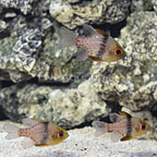 Biota Captive-Bred Pajama Cardinalfish (Trio) (click for more detail)