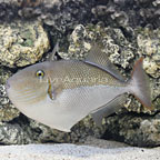 Goldenback Triggerfish  (click for more detail)