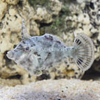 Bristletail Filefish (click for more detail)
