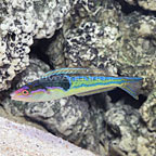 Melanesian Royal Pencil Wrasse Terminal Phase Male (click for more detail)