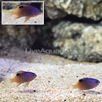 Kwajalein Tracey's Damselfish (Trio) (click for more detail)