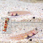 Orange Spotted Goby (Bonded Pair) with Red Banded Pistol Shrimp (click for more detail)