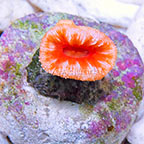 Aussie Balanophyllia Coral (click for more detail)