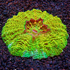 Gold Meat Coral Indonesia (click for more detail)