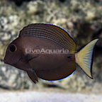 Epaulette Surgeonfish (click for more detail)