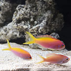 Carberryi Anthias (Trio) (click for more detail)