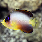 Multicolor Angelfish  (click for more detail)