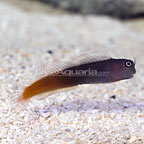Bicolor Blenny (click for more detail)