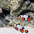 ORA® Captive-Bred Black Ice Snowflake Ocellaris Clownfish (Select Pair) (click for more detail)