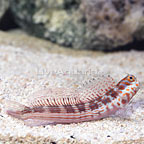 Orange Spotted Blenny  (click for more detail)