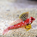 Ruby Red Scooter Dragonet Male (click for more detail)