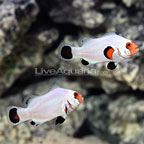 USA Captive-Bred Wyoming White Ocellaris Clownfish (Bonded Pair) (click for more detail)