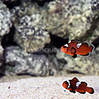 USA Captive-Bred Midnight Black Ice Clownfish (Bonded Pair) (click for more detail)