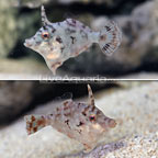 ORA® Captive-Bred Bristletail Filefish (Bonded Pair) (click for more detail)