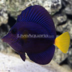 Red Sea Purple Tang (click for more detail)