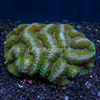 Symphyllia Brain Coral Indonesia (click for more detail)