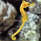 Ingen's Seahorse [Expert Only] (click for more detail)