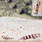Wheeler's Shrimp Goby (Bonded Pair) with Red Banded Pistol Shrimp (click for more detail)