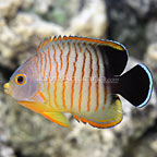 Red Stripe Eibli Angelfish  (click for more detail)