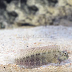 Red Fin African Sailfin/Algae Blenny (click for more detail)