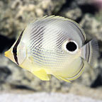 Four Eyed Butterflyfish (click for more detail)