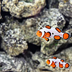 ORA® Captive-Bred Premium Gladiator Clownfish (Select Pair) (click for more detail)