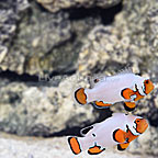 USA Captive-Bred Platinum Snowflake Clownfish (Bonded Pair) (click for more detail)