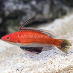Ruby Longfin Fairy Wrasse Terminal Phase Male (click for more detail)