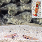Orange Spotted Shrimp Goby (Bonded Pair) with Red Banded Pistol Shrimp (click for more detail)