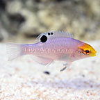 West African Blackbar Hogfish (click for more detail)