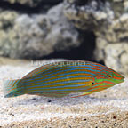 Melanurus Wrasse, Terminal Phase Male (click for more detail)