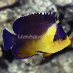 Purple Masked Angelfish  (click for more detail)