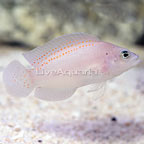 Red Spotted Dottyback  (click for more detail)