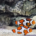 ORA® Captive-Bred Premium Picasso Clownfish (Select Pair) (click for more detail)