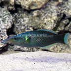 Green Bird Wrasse Initial Phase (click for more detail)