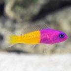 Bicolor Dottyback (click for more detail)