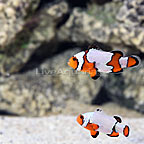 USA Captive-Bred Snowflake Clownfish (Bonded Pair) (click for more detail)