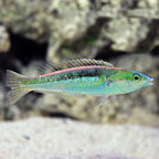 Blue Nose Pencil Wrasse Terminal Phase Male [Blemish] (click for more detail)