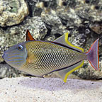 Crosshatch Triggerfish Male (click for more detail)